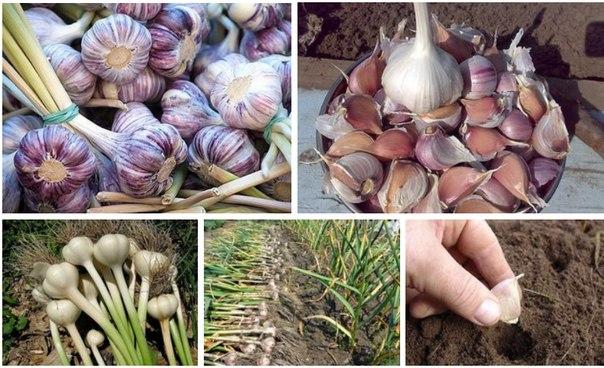 Выращивание чеснока как бизнес план